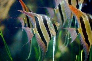 Pterophyllum_Altum angelfish picture
