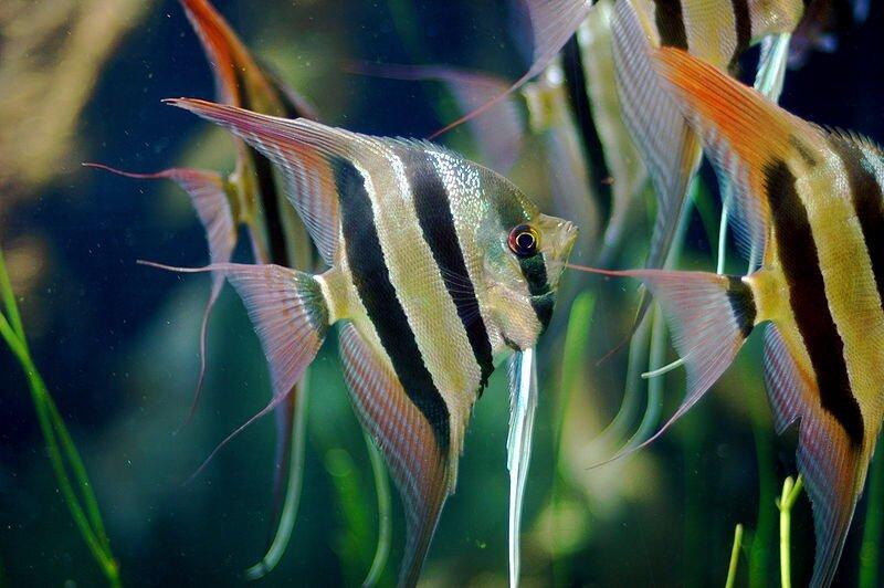 blue marble angelfish