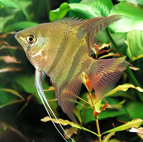 Freshwater Angelfish Species Profiles And Natural History