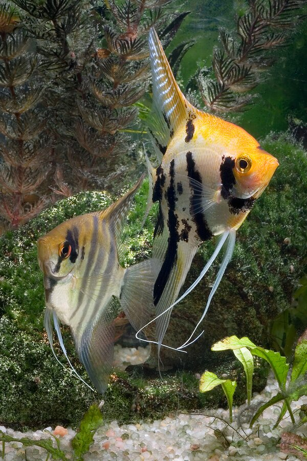 about angelfish