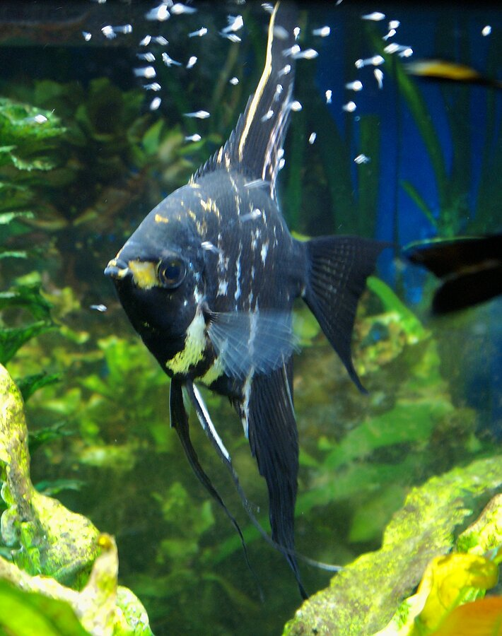 Angelfish freshwater types for How to fresh water fish