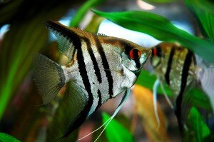 Zebra Angelfish photo