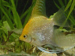 Gold Pearlscale Angelfish photo