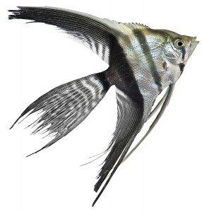 half black veil angelfish photo