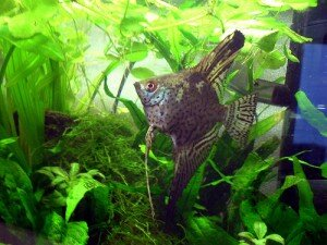 leopard angelfish photo