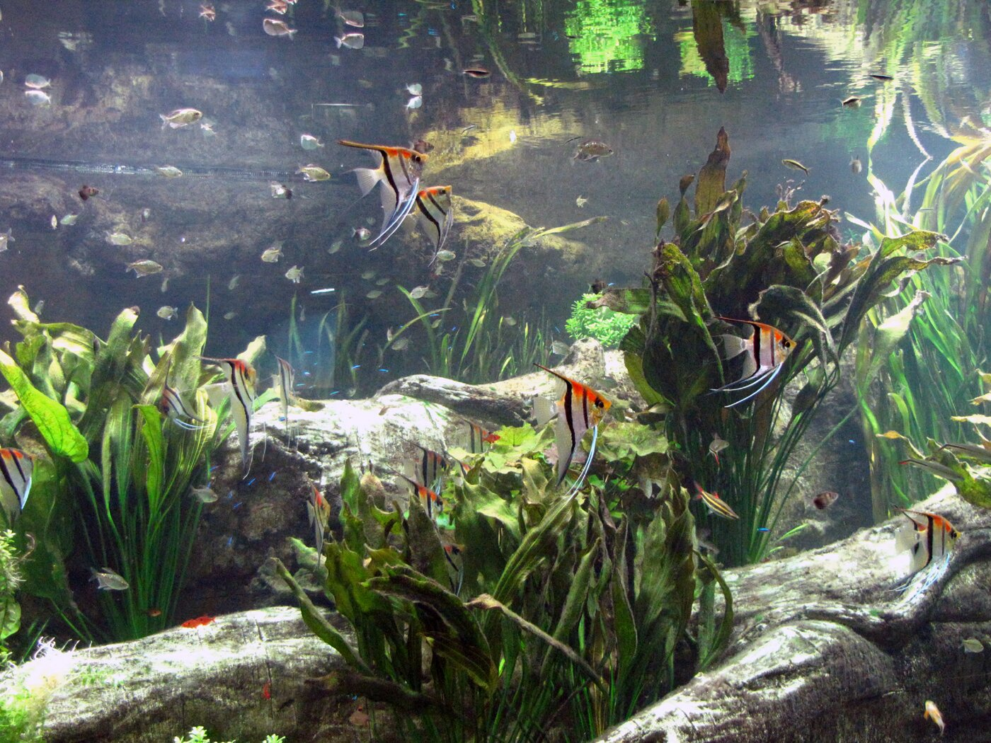 Freshwater aquarium fish gasping for air - Freshwater Angelfish Fish