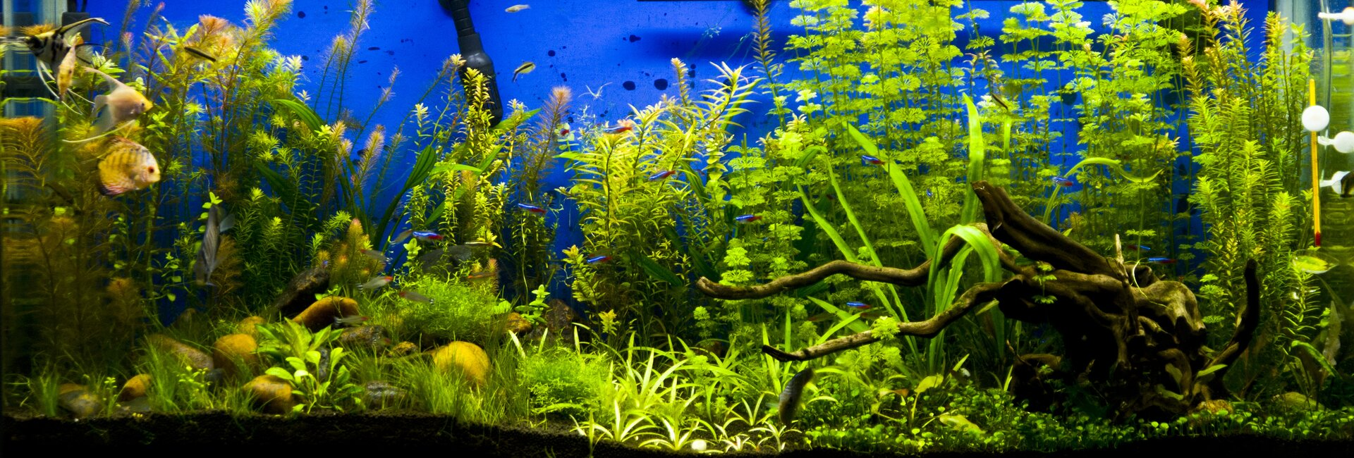 Freshwater aquarium fish angelfish - Freshwater Aquarium Fish Angelfish